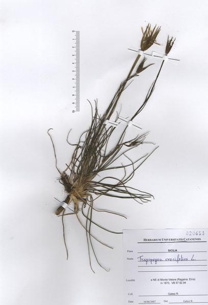 Tragopogon crocifolius L. subsp. crocifolius