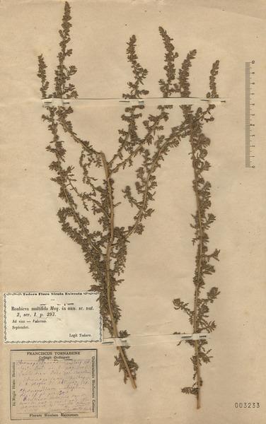 Dysphania multifida (L.) Mosyakin & Clemants