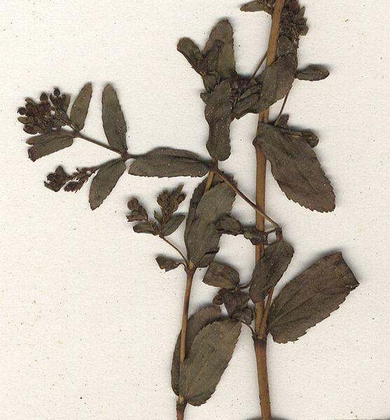 Euphorbia humifusa Willd. ex Schlecht.
