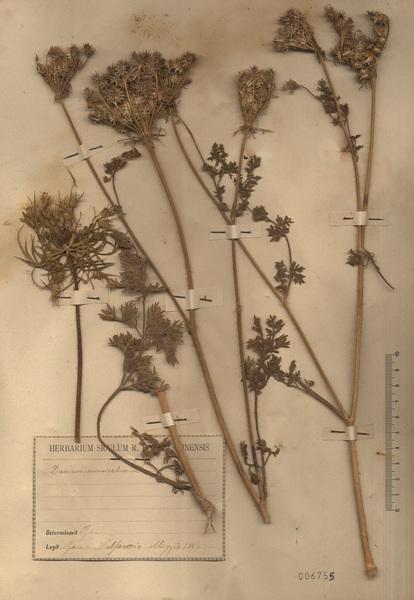 Daucus muricatus (L.) L.