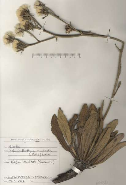 Helminthotheca aculeata (Vahl) Lack subsp. aculeata