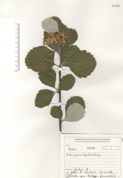 Sorbus graeca (Spach) Lodd. ex S.Schauer