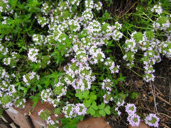 Thymus marschallianus Willd.
