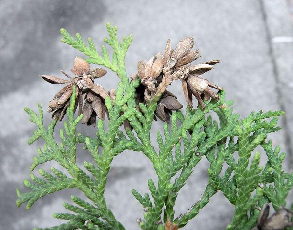 Thuja occidentalis L.