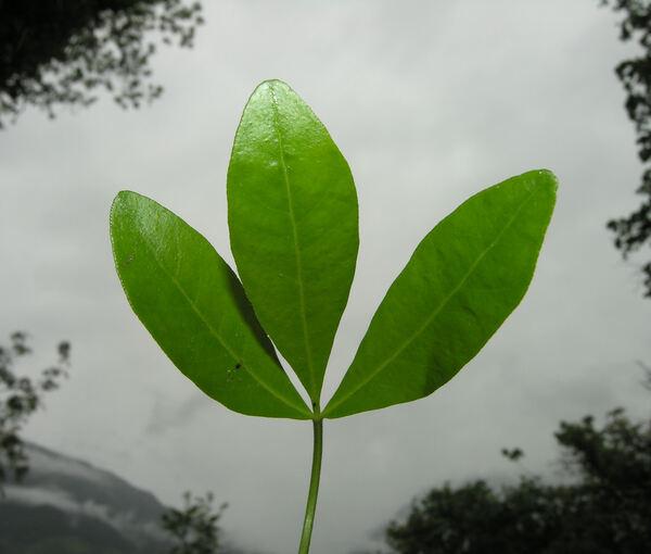 Choisya ternata Kunth