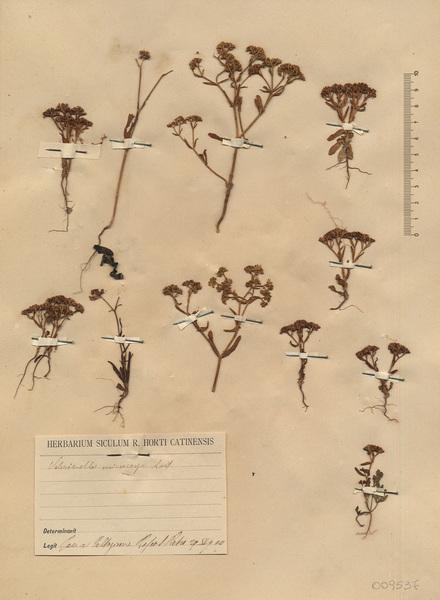 Valerianella microcarpa Loisel.