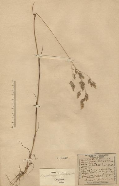 Corynephorus articulatus (Desf.) P.Beauv.