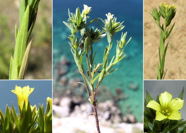 Linum corymbulosum Rchb.