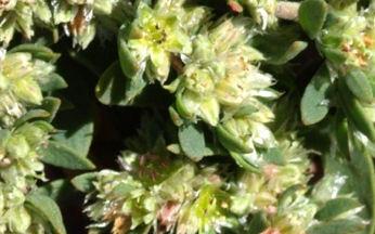 Paronychia polygonifolia (Vill.) DC.