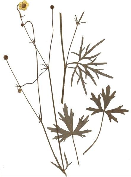 Ranunculus polyanthemophyllus W.Koch & H.E.Hess