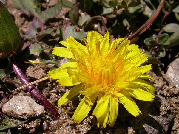 Taraxacum dissectum (Ledeb.) Ledeb.