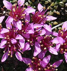 Saxifraga retusa Gouan subsp. retusa