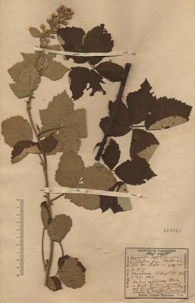 Rubus montanus Lib. ex Lej.