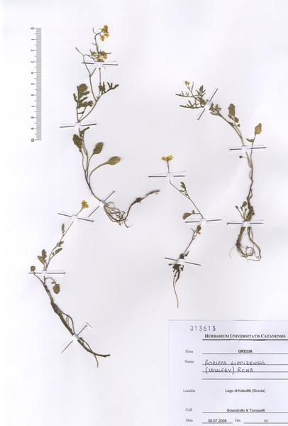 Rorippa lippizensis (Wulfen) Rchb.