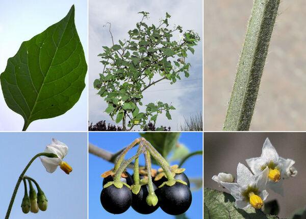 Solanum nigrum L.