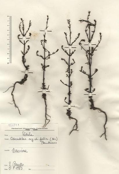 Odontites rigidifolius (Biv.) Benth.