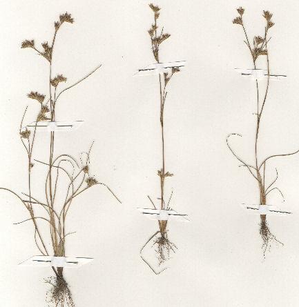 Juncus hybridus Brot.