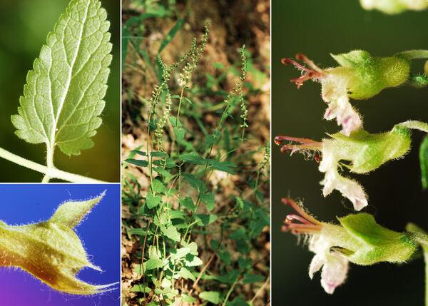 Teucrium siculum (Raf.) Guss. subsp. siculum