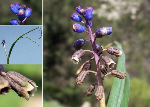 Bellevalia dubia (Guss.) Rchb.