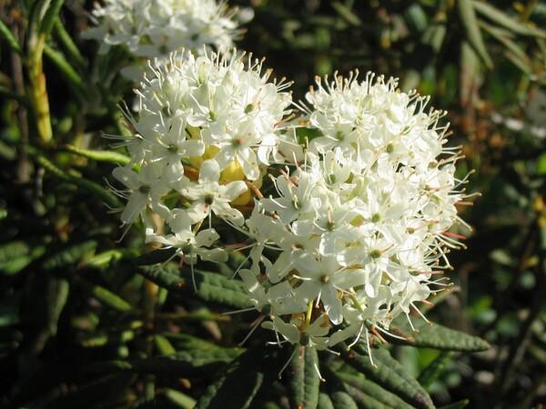 Rhododendron groenlandicum (Oeder) Kron & Judd