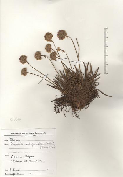 Armeria arenaria (Pers.) Schult. subsp. marginata (Levier) Arrigoni
