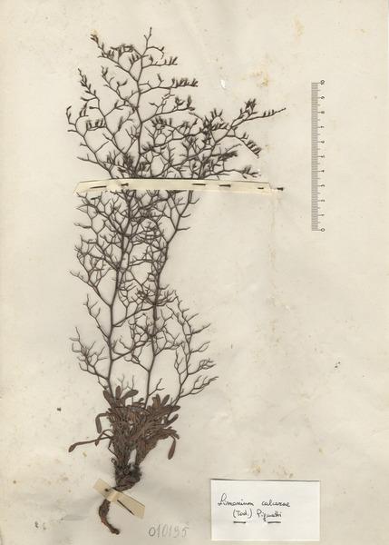 Limonium calcarae (Tod. ex Janka) Pignatti