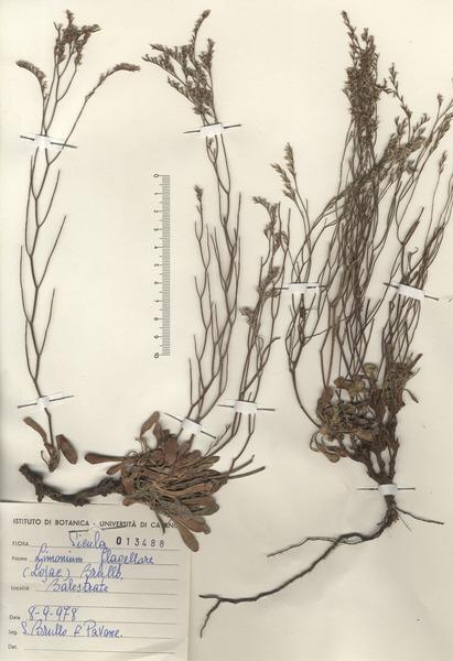 Limonium flagellare (Lojac.) Brullo