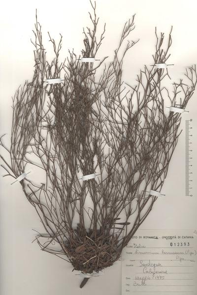 Limonium hermaeum (Pignatti) Pignatti