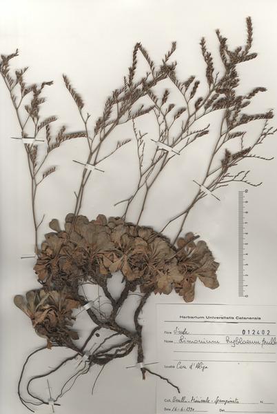 Limonium hyblaeum Brullo