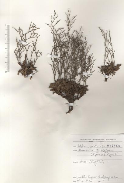 Limonium japygicum (E.Groves) Pignatti ex Pignatti, Galasso & Nicolella