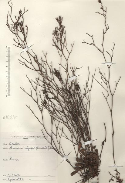 Limonium algusae (Brullo) Greuter