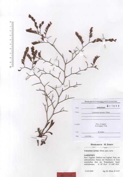 Limonium carisae Erben