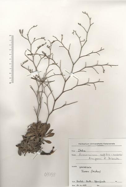 Limonium capitis-marci Arrigoni & Diana