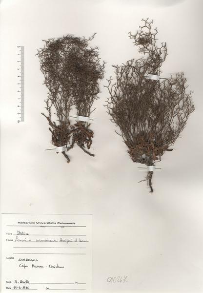 Limonium acutifolium (Rchb.) Salmon subsp. cornusianum (Arrigoni & Diana) Arrigoni