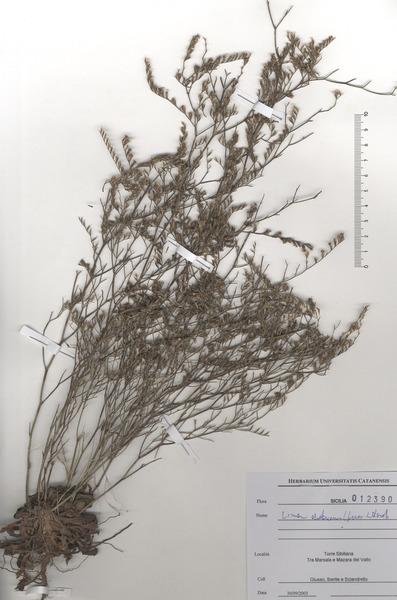 Limonium dubium (Andrews ex Guss.) Litard.