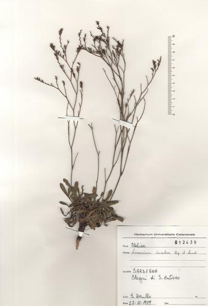 Limonium insulare (Bég. & Landi) Arrigoni & Diana