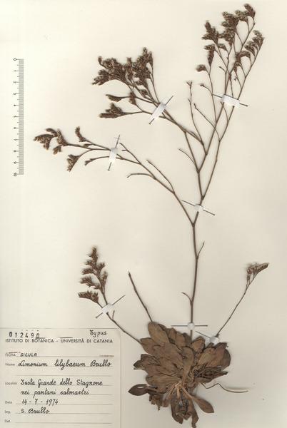 Limonium lilybaeum Brullo