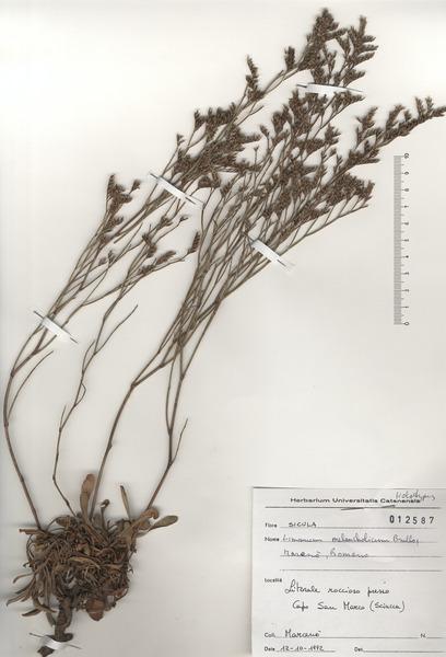 Limonium melancholicum Brullo, Marcenò & S.Romano