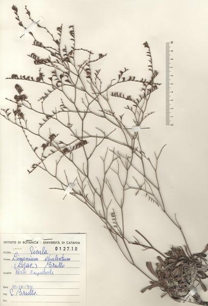 Limonium opulentum (Lojac.) Brullo