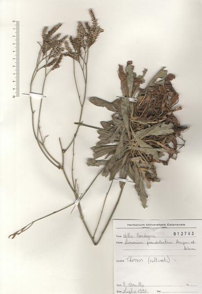 Limonium pseudolaetum Arrigoni & Diana