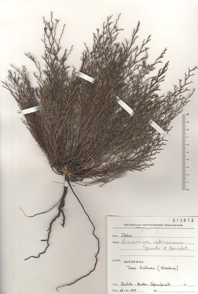 Limonium retirameum Greuter & Burdet subsp. caralitanum Arrigoni
