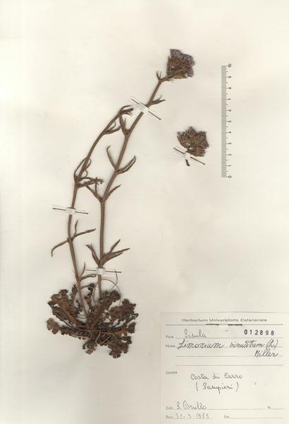 Limonium sinuatum (L.) Mill.