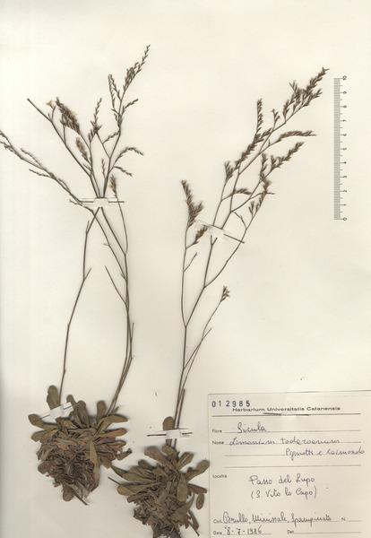 Limonium todaroanum Raimondo & Pignatti