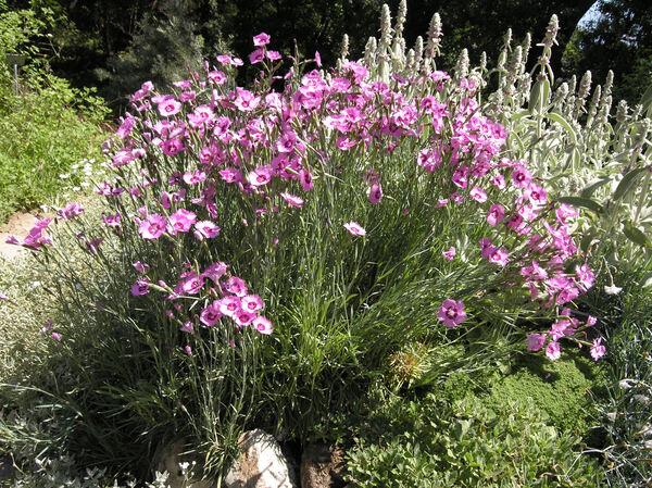 Dianthus plumarius L. subsp. plumarius