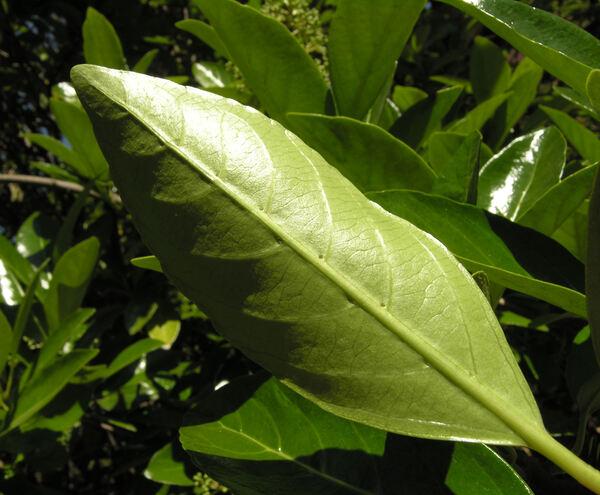Viburnum suspensum Lindl.