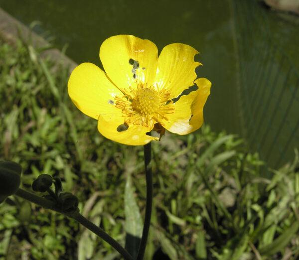 Ranunculus lingua L.