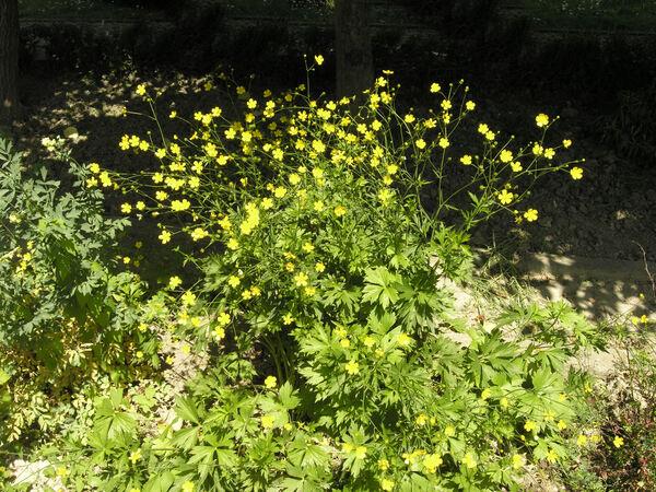 Ranunculus serbicus Vis.
