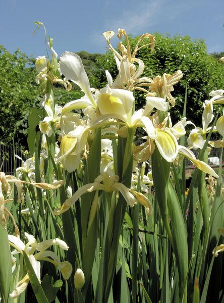 Iris spuria L. subsp. ochroleuca (L.) Dykes