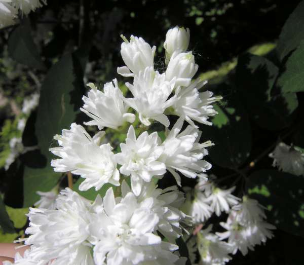 Deutzia scabra Thunb. 'Flore pleno'