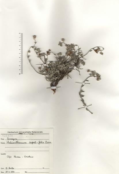 Helianthemum caput-felis Boiss.